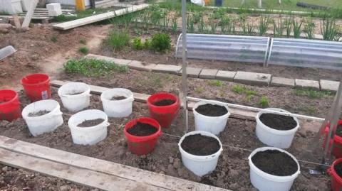 Выращивание помидоров в ведр…