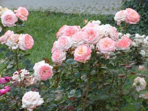 Создаём свой сорт розы