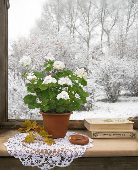 Отправляем пеларгонию на зимовку