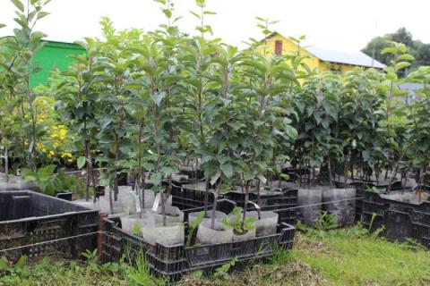 Советы по покупке и посадке плодовых саженцев