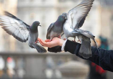 Опасны ли городские голуби д…