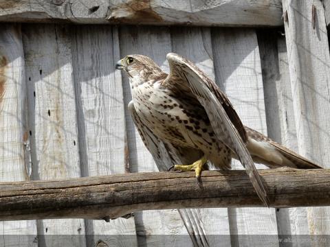 «Алтай-Фалькон» готовит к самостоятельной жизни в природе 10 краснокнижных соколов