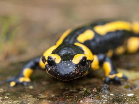 В Европе гибнут огненные саламандры