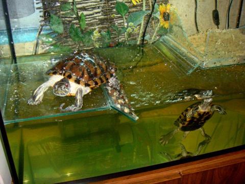 Аквариум красноухих черепах своими руками фото