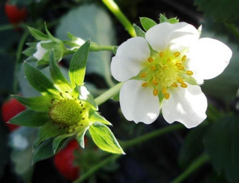 5 причин, почему не плодоносит земляника