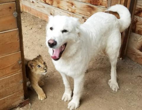 Собака считает маленького львенка своим щенком