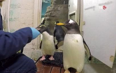 Жадные до рыбы пингвины пере…