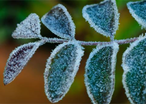 Боязнь замерзнуть ночью определила размер листьев