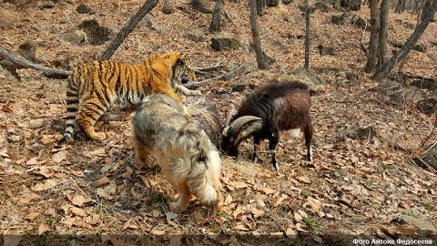 Сыновья тигра Амура и козла …