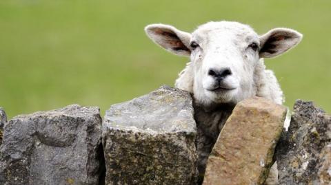 Овцы, это не только ваш свитер или стейк, но и высокий уровень интеллекта