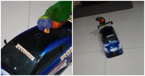 Попугай обожает кататься на …