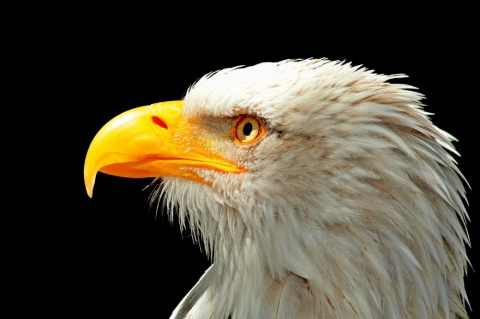 Орёл ощипан и серьёзно болен