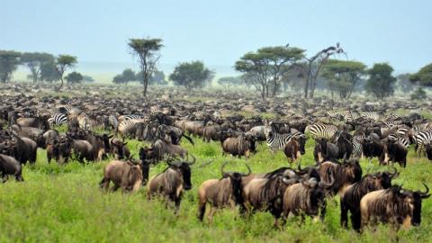 Великие скопления животных, …