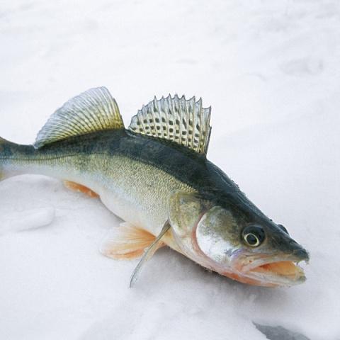 Поклонников зимнего спиннинга на незамерзающих речках становится все больше.