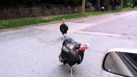 Банды диких индеек терроризируют жителей Массачусетса