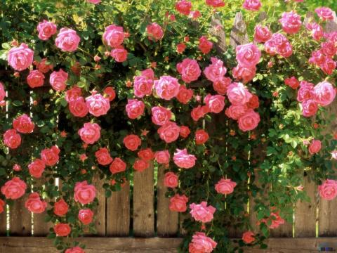Две главных подкормки для розовых кустов осенью