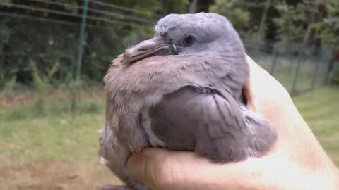 Спас голубя от кошки. Очень …