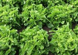 У какого салата листья нежнее?