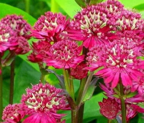 Многолетние растения, цветущ…
