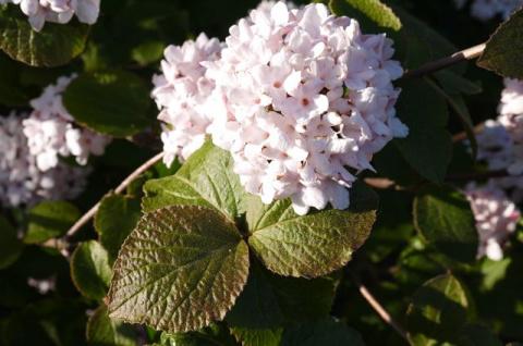 Полезная и красивая: какие необычные сорта калины можно вырастить в саду