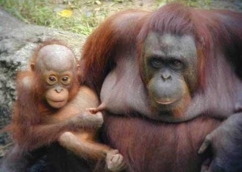 Факты об обезьянах