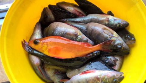 Золотую рыбку поймал житель Карелии