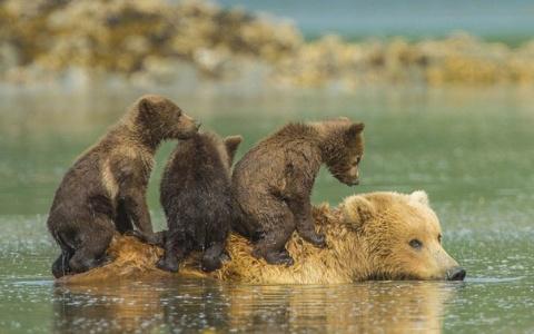 Медвежата пересекают реку на…