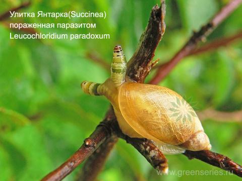Улитка Янтарка (Succinea) пораженная паразитом (зрелище конечно...)