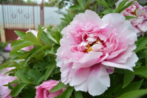 Как посадить и ухаживать за древовидными пионами? Весна, лето, осень, зима.