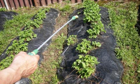 Чем обрабатывать клубнику весной?