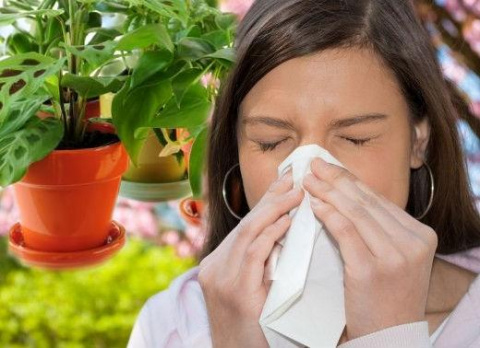 Какие комнатные растения могут вызывать аллергию