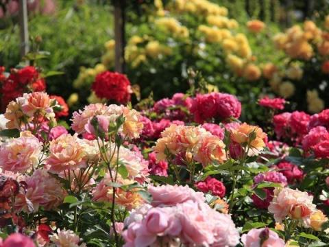 Красивый розарий – невероятн…