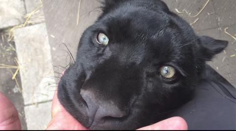Эта спасенная пантера самая …