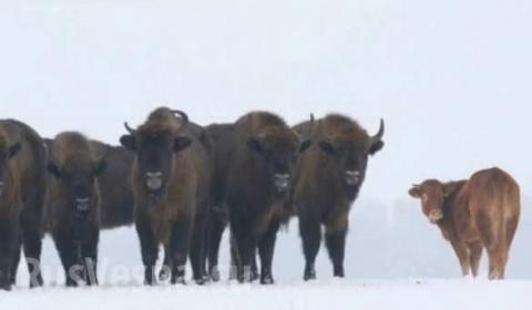 Это сладкое слово - СВОБОДА. Корова сбежала от забоя и нашла защиту у стада зубров