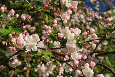 В моём окне цветущий майский сад
