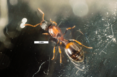 Новый вид муравьев Темноторакс