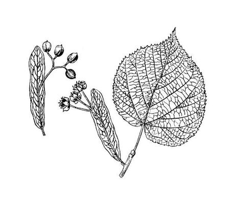 листья липы картинки шаблоны