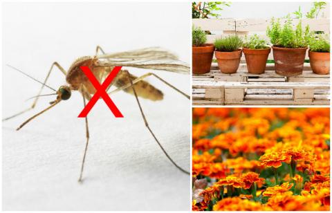Как избавиться от комаров надолго: 8 растений, которые нужно посадить на даче или подоконнике прямо сейчас