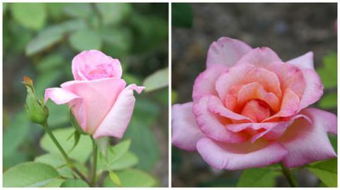 Розы флорибунда: розовые и к…