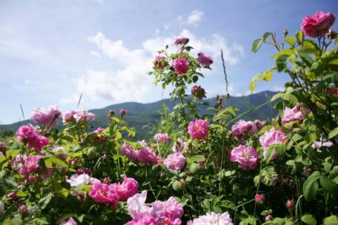 Розовое наслаждение: фестива…