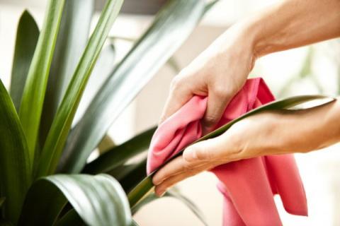 Очистка комнатных растений о…