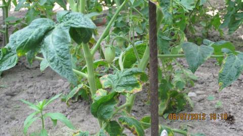 Желтеет лист у помидор