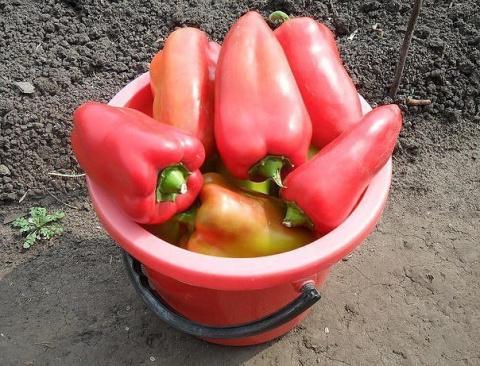 Чтобы перцы были крепкими, а урожай богатым