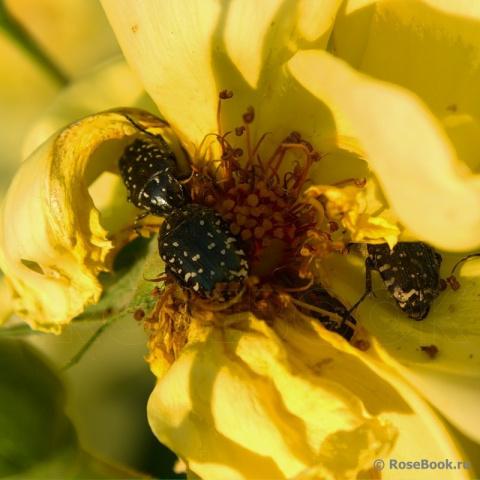 Как избавиться от черно-белых жучков, которые каждый год поедают у меня бутоны роз?