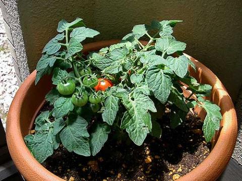 Многолетние перуанские помидоры