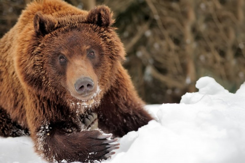 Медведь забрал два ружья у охотника