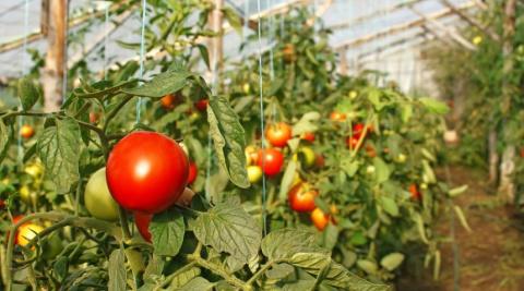 Выращивание помидоров в тепл…