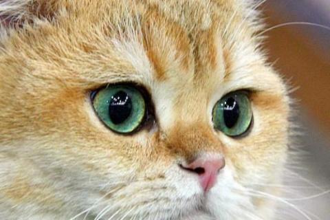 Глаза – они у кошки довольно большие