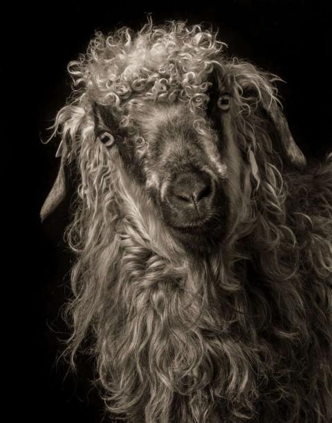 Удивительные студийные портреты коз