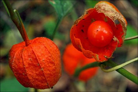 Физалис - овощ, с которым стоит познакомиться и полюбить